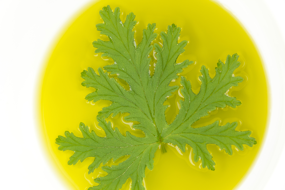 citronella leaf in oil for natural mosquito repellant