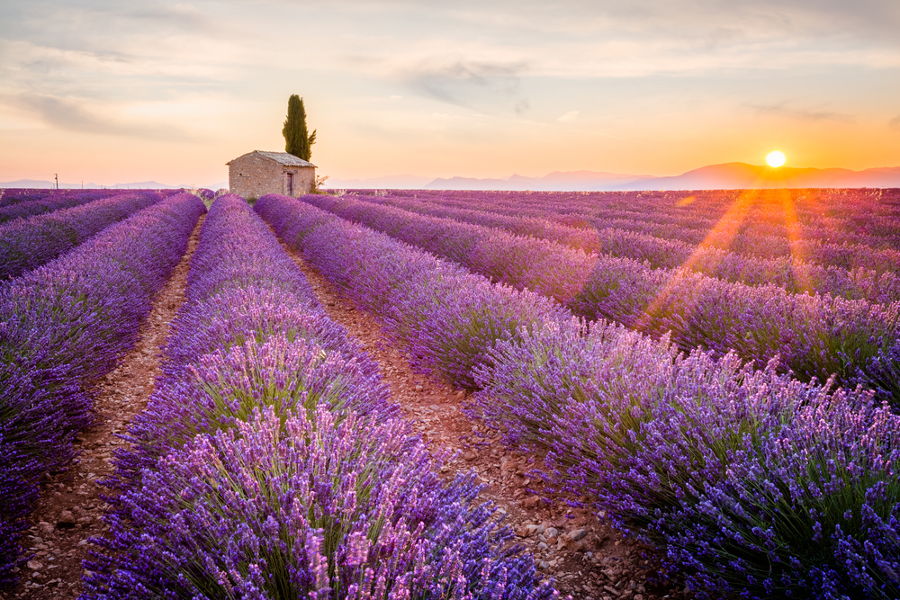 lavender repels bugs and mosquitos naturally provence