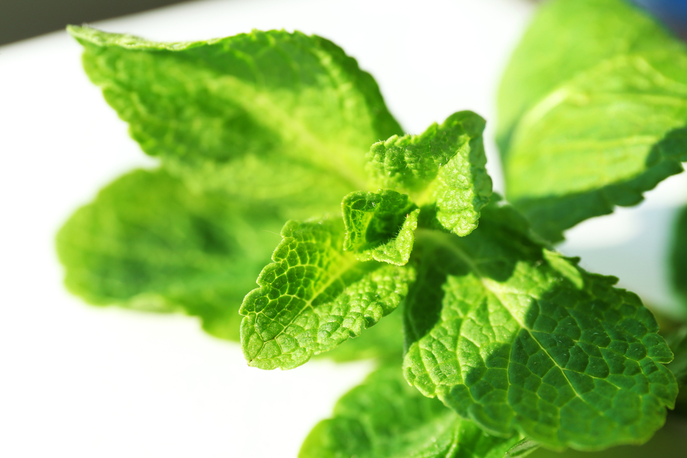 peppermint repels bugs naturally